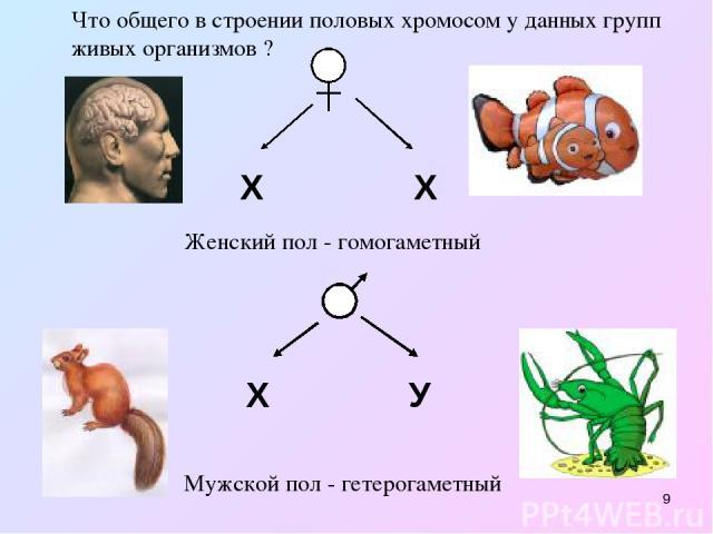 * Х Х Что общего в строении половых хромосом у данных групп живых организмов ? Х У Женский пол - гомогаметный Мужской пол - гетерогаметный