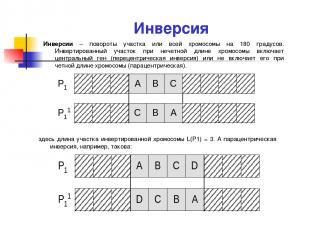 Инверсия Инверсии – повороты участка или всей хромосомы на 180 градусов. Инверти