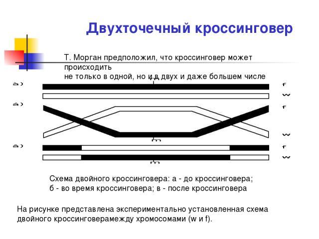 Двухточечный кроссинговер Т. Морган предположил, что кроссинговер может происходить не только в одной, но и в двух и даже большем числе точек. Схема двойного кроссинговера: а - до кроссинговера; б - во время кроссинговера; в - после кроссинговера На…