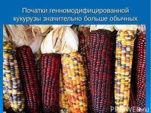 Початки генномодифицированной кукурузы значительно больше обычных
