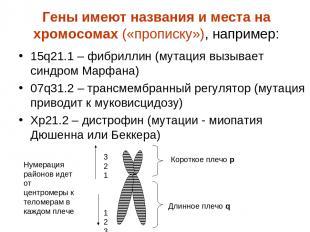 Гены имеют названия и места на хромосомах («прописку»), например: 15q21.1 – фибр