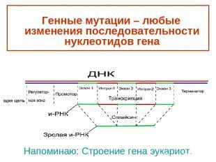 Напоминаю: Строение гена эукариот. Генные мутации – любые изменения последовател
