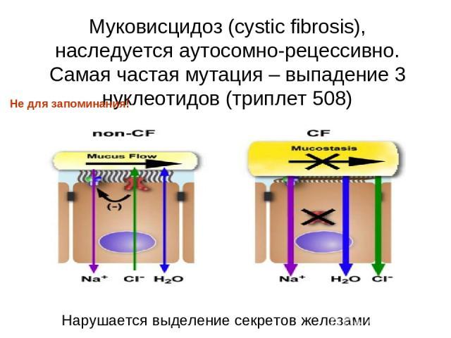 Муковисцидоз (cystic fibrosis), наследуется аутосомно-рецессивно. Самая частая мутация – выпадение 3 нуклеотидов (триплет 508) Нарушается выделение секретов железами Не для запоминания!