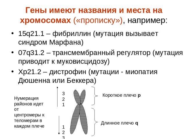 Гены имеют названия и места на хромосомах («прописку»), например: 15q21.1 – фибриллин (мутация вызывает синдром Марфана) 07q31.2 – трансмембранный регулятор (мутация приводит к муковисцидозу) Xp21.2 – дистрофин (мутации - миопатия Дюшенна или Беккер…