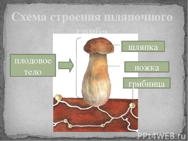 Схема строения шляпочного гриба шляпка ножка плодовое тело грибница