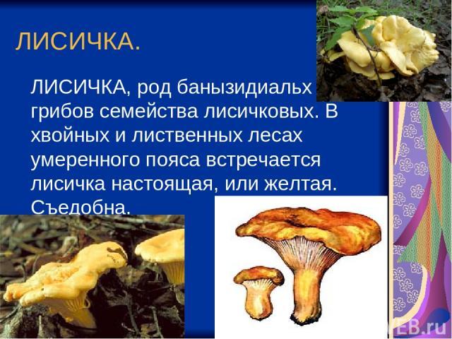 ЛИСИЧКА. ЛИСИЧКА, род банызидиальх грибов семейства лисичковых. В хвойных и лиственных лесах умеренного пояса встречается лисичка настоящая, или желтая. Съедобна.