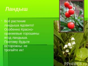Ландыш Всё растение ландыша ядовито! Особенно Красно-оранжевые горошины ягод лан
