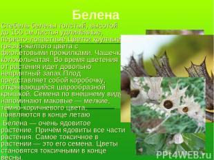 Белена Стебель белены толстый, высотой до 150см.Листья удлинённые, перисто-лопа