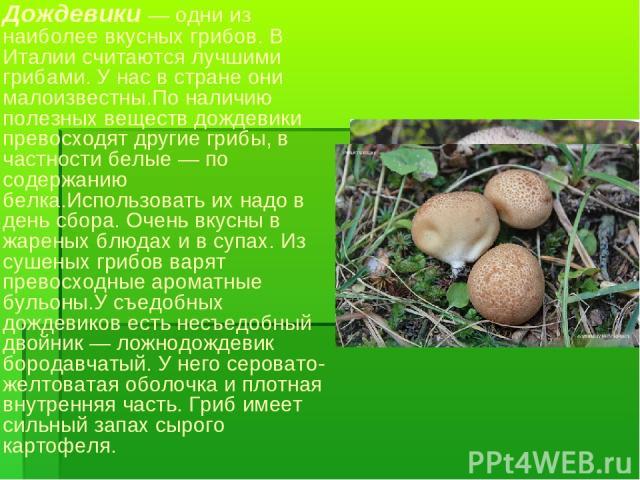 Дождевики — одни из наиболее вкусных грибов. В Италии считаются лучшими грибами. У нас в стране они малоизвестны.По наличию полезных веществ дождевики превосходят другие грибы, в частности белые — по содержанию белка.Использовать их надо в день сбор…
