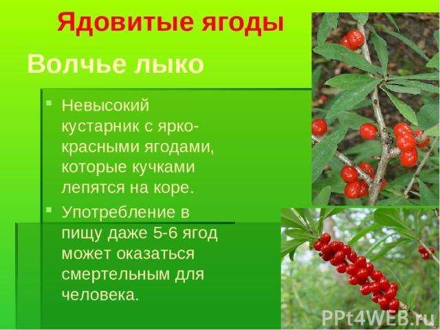 Волчье лыко Невысокий кустарник с ярко-красными ягодами, которые кучками лепятся на коре. Употребление в пищу даже 5-6 ягод может оказаться смертельным для человека. Ядовитые ягоды