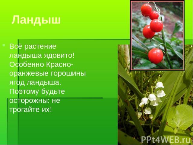 Ландыш Всё растение ландыша ядовито! Особенно Красно-оранжевые горошины ягод ландыша. Поэтому будьте осторожны: не трогайте их!