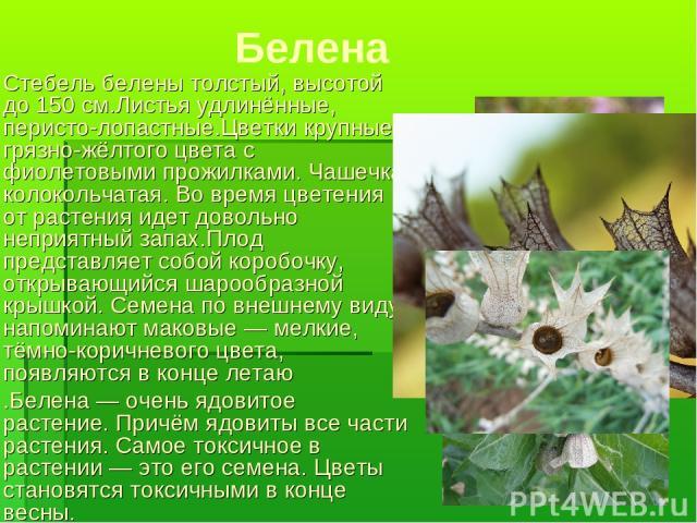 Белена Стебель белены толстый, высотой до 150см.Листья удлинённые, перисто-лопастные.Цветки крупные, грязно-жёлтого цвета с фиолетовыми прожилками. Чашечка колокольчатая. Во время цветения от растения идет довольно неприятный запах.Плод представляе…