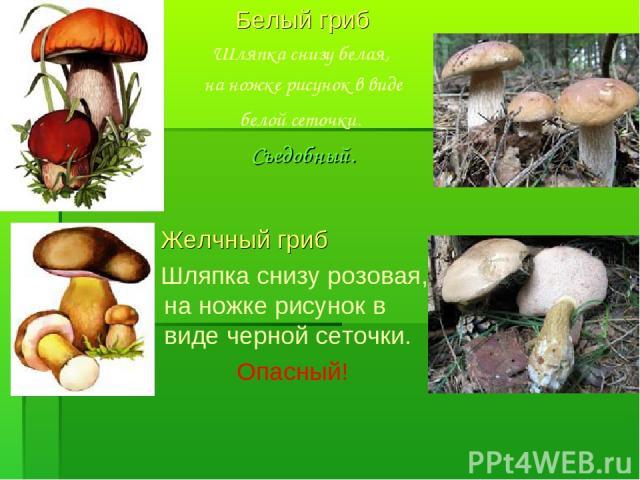 Белый гриб Шляпка снизу белая, на ножке рисунок в виде белой сеточки. Съедобный. Желчный гриб Шляпка снизу розовая, на ножке рисунок в виде черной сеточки. Опасный!