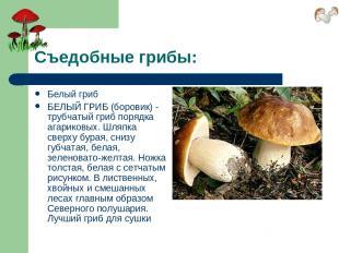 Съедобные грибы: Белый гриб БЕЛЫЙ ГРИБ (боровик) - трубчатый гриб порядка агарик