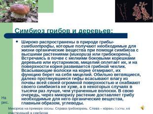 Симбиоз грибов и деревьев: Широко распространены в природе грибы-симбиотрофы, ко