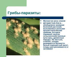 Грибы-паразиты: Мучнистая роса злаков МУЧНИСТАЯ РОСА - обобщенное название болез