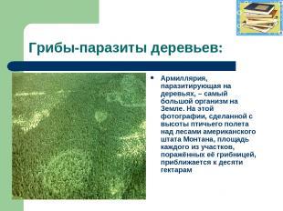 Грибы-паразиты деревьев: Армиллярия, паразитирующая на деревьях, – самый большой