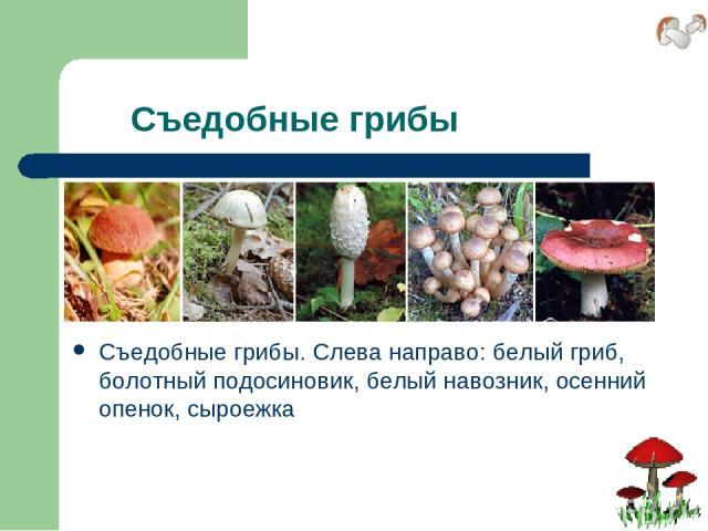 Съедобные грибы Съедобные грибы. Слева направо: белый гриб, болотный подосиновик, белый навозник, осенний опенок, сыроежка