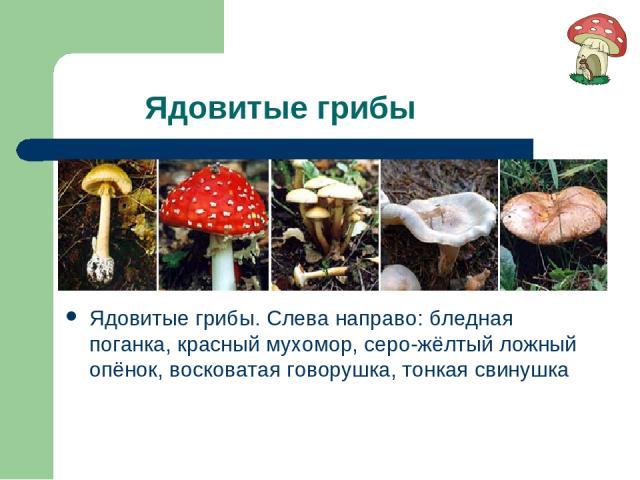 Ядовитые грибы Ядовитые грибы. Слева направо: бледная поганка, красный мухомор, серо-жёлтый ложный опёнок, восковатая говорушка, тонкая свинушка