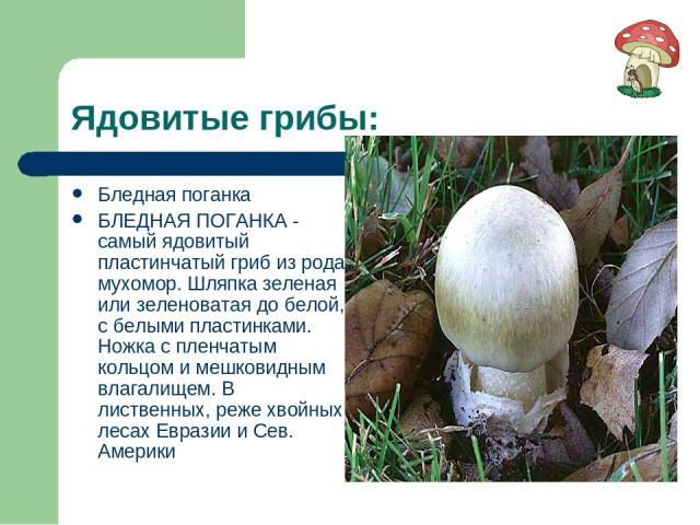 Ядовитые грибы: Бледная поганка БЛЕДНАЯ ПОГАНКА - самый ядовитый пластинчатый гриб из рода мухомор. Шляпка зеленая или зеленоватая до белой, с белыми пластинками. Ножка с пленчатым кольцом и мешковидным влагалищем. В лиственных, реже хвойных лесах Е…
