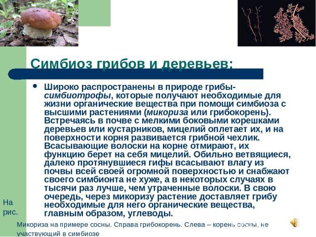 Симбиоз грибов и деревьев: Широко распространены в природе грибы-симбиотрофы, которые получают необходимые для жизни органические вещества при помощи симбиоза с высшими растениями (микориза или грибокорень). Встречаясь в почве с мелкими боковыми кор…
