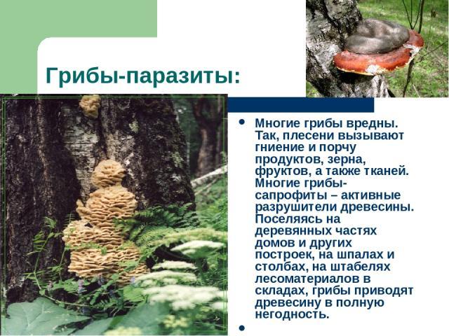 Грибы-паразиты: Многие грибы вредны. Так, плесени вызывают гниение и порчу продуктов, зерна, фруктов, а также тканей. Многие грибы-сапрофиты – активные разрушители древесины. Поселяясь на деревянных частях домов и других построек, на шпалах и столба…