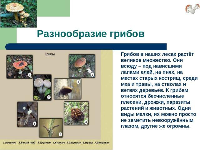 Разнообразие грибов Грибов в наших лесах растёт великое множество. Они всюду – под нависшими лапами елей, на пнях, на местах старых кострищ, среди мха и травы, на стволах и ветвях деревьев. К грибам относятся бесчисленные плесени, дрожжи, паразиты р…
