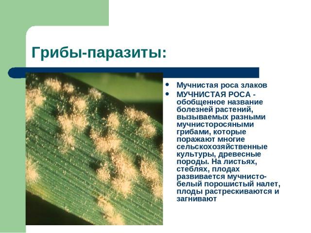Грибы-паразиты: Мучнистая роса злаков МУЧНИСТАЯ РОСА - обобщенное название болезней растений, вызываемых разными мучнисторосяными грибами, которые поражают многие сельскохозяйственные культуры, древесные породы. На листьях, стеблях, плодах развивает…