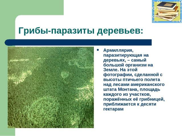 Грибы-паразиты деревьев: Армиллярия, паразитирующая на деревьях, – самый большой организм на Земле. На этой фотографии, сделанной с высоты птичьего полета над лесами американского штата Монтана, площадь каждого из участков, поражённых её грибницей, …