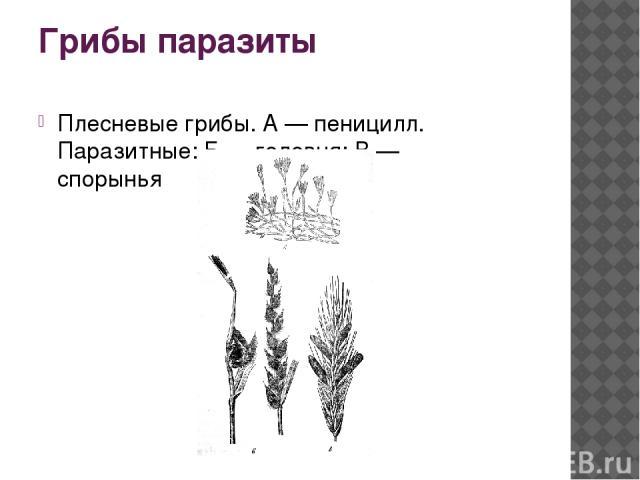 Грибы паразиты Плесневые грибы. А — пеницилл. Паразитные: Б — головня; В — спорынья