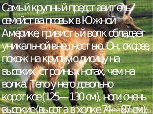 Самый крупный представитель семейства псовых в Южной Америке, гривистый волк обл