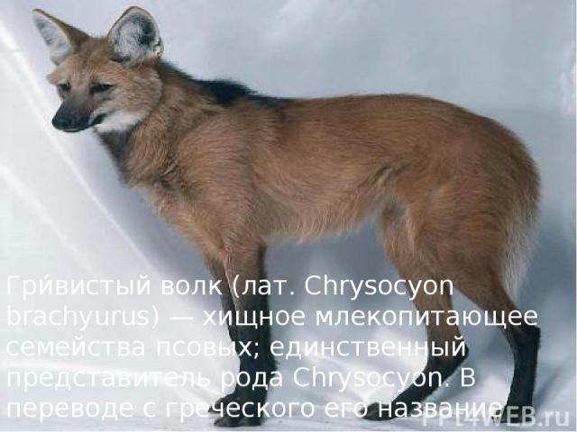 Гри вистый волк (лат. Chrysocyon brachyurus) — хищное млекопитающее семейства псовых; единственный представитель рода Chrysocyon. В переводе с греческого его название означает «короткохвостая золотистая собака».
