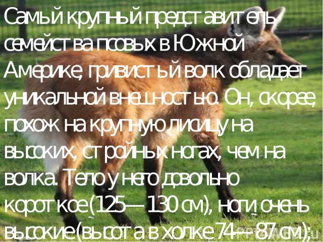 Самый крупный представитель семейства псовых в Южной Америке, гривистый волк обладает уникальной внешностью. Он, скорее, похож на крупную лисицу на высоких, стройных ногах, чем на волка. Тело у него довольно короткое (125—130 см), ноги очень высокие…