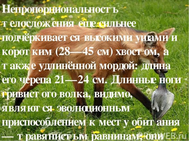 Непропорциональность телосложения еще сильнее подчёркивается высокими ушами и коротким (28—45 см) хвостом, а также удлинённой мордой: длина его черепа 21—24 см. Длинные ноги гривистого волка, видимо, являются эволюционным приспособлением к месту оби…