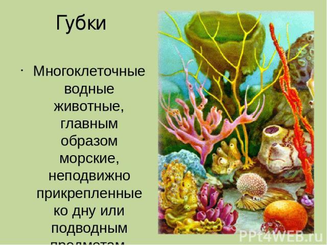 Губки Многоклеточные водные животные, главным образом морские, неподвижно прикрепленные ко дну или подводным предметам.