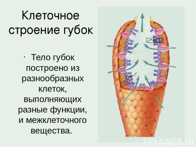 Клеточное строение губок Тело губок построено из разнообразных клеток, выполняющих разные функции, и межклеточного вещества.