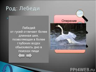 Оперение лебедей по своей окраске бывает либо чисто белого, либо серого или чёрн