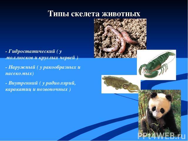 - Гидростатический ( у моллюсков и круглых червей ) - Наружный ( у ракообразных и насекомых) - Внутренний ( у радиолярий, каракатиц и позвоночных ) Типы скелета животных