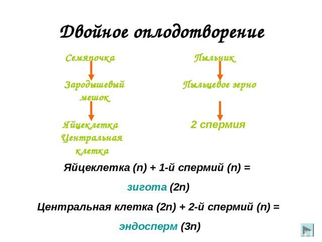 Двойное оплодотворение Яйцеклетка Центральная клетка Семяпочка Пыльник Пыльцевое зерно 2 спермия Зародышевый мешок Яйцеклетка (n) + 1-й спермий (n) = зигота (2n) Центральная клетка (2n) + 2-й спермий (n) = эндосперм (3n)