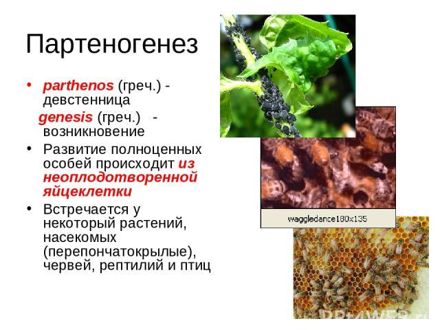Партеногенез parthenos (греч.) - девстенница genesis (греч.) - возникновение Развитие полноценных особей происходит из неоплодотворенной яйцеклетки Встречается у некоторый растений, насекомых (перепончатокрылые), червей, рептилий и птиц