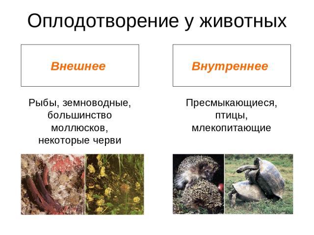 Оплодотворение у животных Внешнее Внутреннее Рыбы, земноводные, большинство моллюсков, некоторые черви Пресмыкающиеся, птицы, млекопитающие