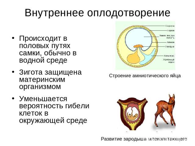 Внутреннее оплодотворение Происходит в половых путях самки, обычно в водной среде Зигота защищена материнским организмом Уменьшается вероятность гибели клеток в окружающей среде Строение амниотического яйца Развитие зародыша млекопитающего