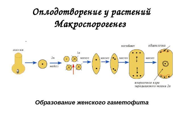 Оплодотворение у растений Макроспорогенез Образование женского гаметофита