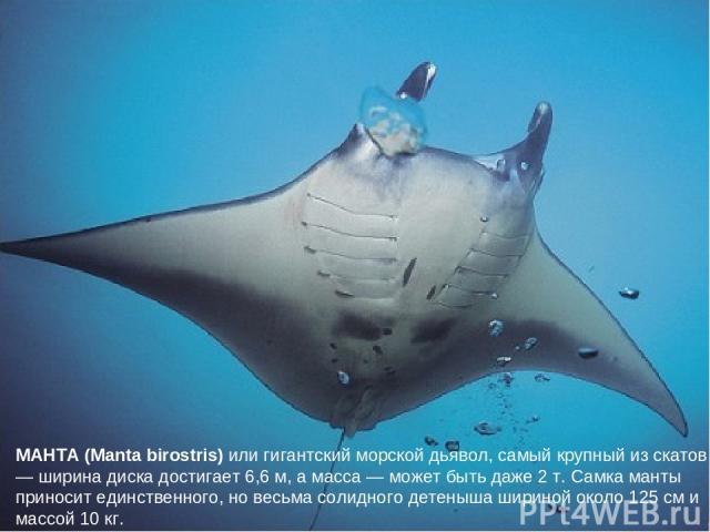 МАНТА (Manta birostris) или гигантский морской дьявол, самый крупный из скатов — ширина диска достигает 6,6 м, а масса — может быть даже 2 т. Самка манты приносит единственного, но весьма солидного детеныша шириной около 125 см и массой 10 кг.