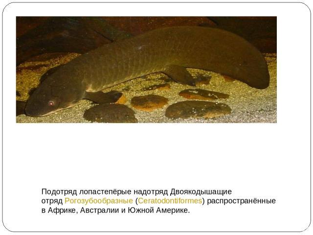 Подотряд лопастепёрые надотряд Двоякодышащие отряд Рогозубообразные (Ceratodontiformes) распространённые в Африке, Австралии и Южной Америке.