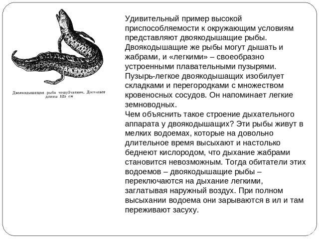 Удивительный пример высокой приспособляемости к окружающим условиям представляют двоякодышащие рыбы. Двоякодышащие же рыбы могут дышать и жабрами, и «легкими» – своеобразно устроенными плавательными пузырями. Пузырь-легкое двоякодышащих изобилует ск…