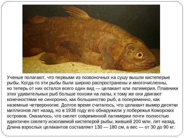Ученые полагают, что первыми изпозвоночных насушу вышли кистеперые рыбы. Когда-то эти рыбы были широко распространены имногочисленны, нотеперь отних остался всего один вид— целакант или латимерия. Плавники этих удивительных рыб больше похожи н…