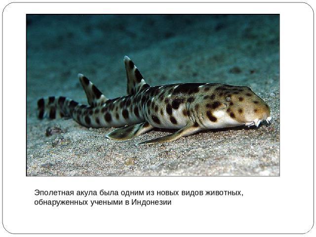 Эполетная акула была одним из новых видов животных, обнаруженных учеными в Индонезии