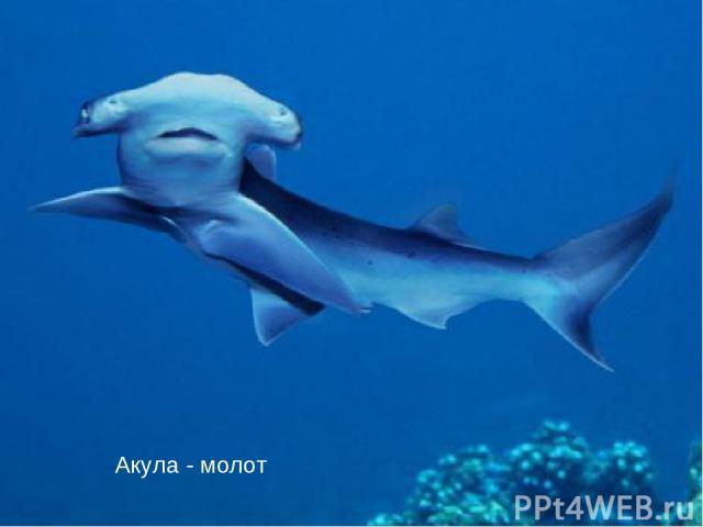 Акула - молот