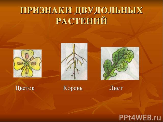 ПРИЗНАКИ ДВУДОЛЬНЫХ РАСТЕНИЙ Цветок Корень Лист